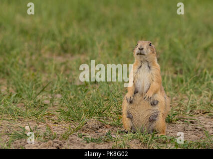 Female Groundhog Perks up in Field with copy space to left - Stock Image