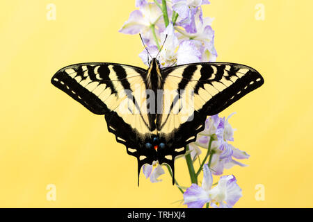 A western tiger swallowtail (Papilio rutulus) with wings spread open - on a solid yellow background - Stock Image