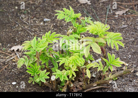 Melianthus major leaves in Spring. New growth. - Stock Image