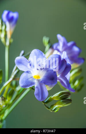 Blue freesia flowers isolated against a green background - Stock Image