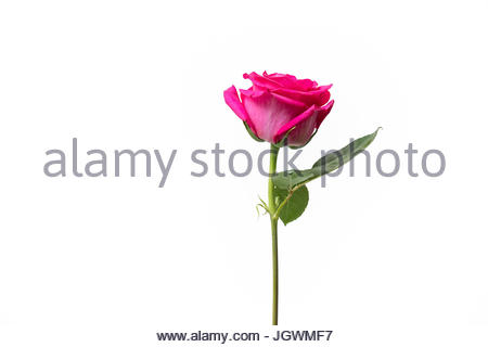 Pink rose white background isolated - Stock Image