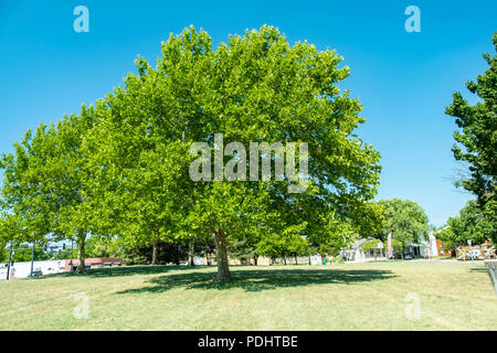 American Sycamore trees, Platanus occidentalis, during summer in Wichita, Kansas, USA. - Stock Image