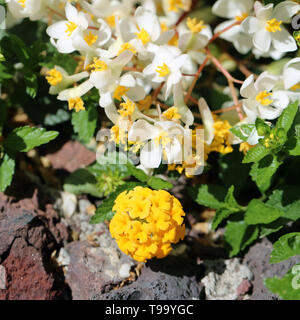 White and yellow small flowers with small leaves photographed during a sunny day in Madeira. Detailed closeup photo - Stock Image
