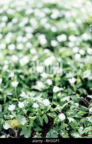 Anemones - Stock Image