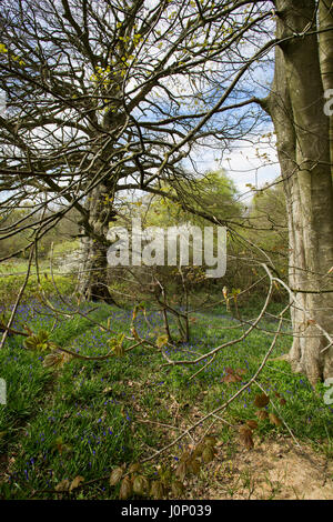 Bluebells grow at the side of a wood in Spring. - Stock Image