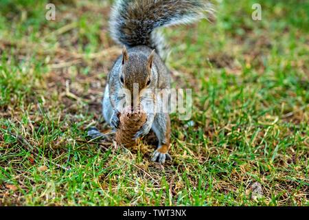 Italy Piedmont Turin Valentino park - gray squirrel - Sciurus carolinensis - - Stock Image