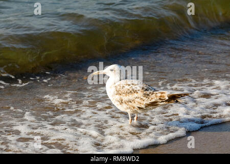 The wave is coming and the seagull is standing and waiting. This view was observed on the sandy beach of the Baltic Sea in Kolobrzeg, Poland. - Stock Image