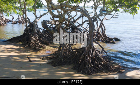 Mangrove trees firmly rooted in the sand in Seventeen Seventy in the Gladstone Region, Queensland, Australia. - Stock Image