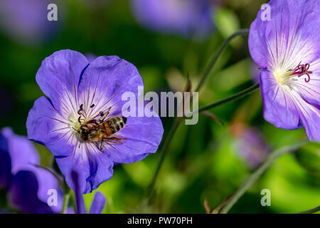 Honeybee collecting nectar pollen from a purple geranium Rozanne (Gerwat) also known as the Jolly Bee - Stock Image
