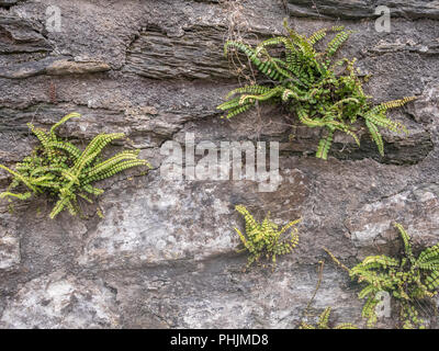 Cluster of small ferns growing in a granite stone wall in Cornwall. - Stock Image