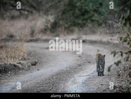 Solitary leopard walks away, down the road. - Stock Image