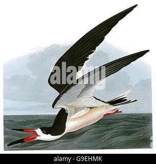 Black Skimmer, Rynchops niger, birds, 1827 - 1838 - Stock Image