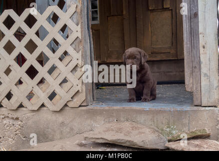 Lone cute six week old chocolate Labrador puppy dog sites looking out at camera - Stock Image