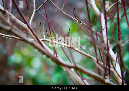 branch with raindrops - Stock Image