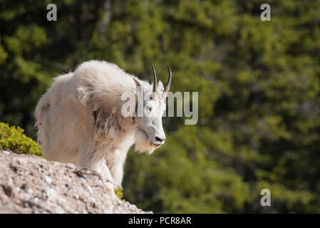 Mountain goats, Oreamnos americanus, Jasper National Park, Alberta, Canada - Stock Image