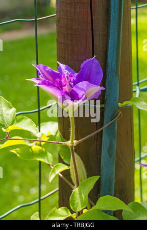A flower on a purple clematis plant in north east Italy - Stock Image