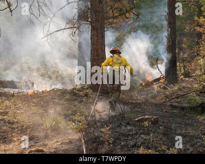 Wildland firefighter rushing to put out burning underbrush. Big Creek Fire near Victor, Montana. July, 2003. - Stock Image
