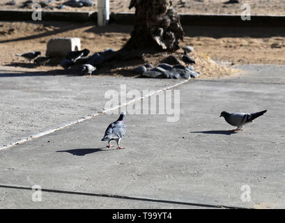 Multiple black, grey and white pigeons photographed during a sunny day in the island of Madeira. Beautiful little birds have gather together to eat . - Stock Image