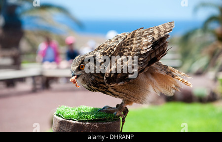 eagle owl perched eating prey - Stock Image