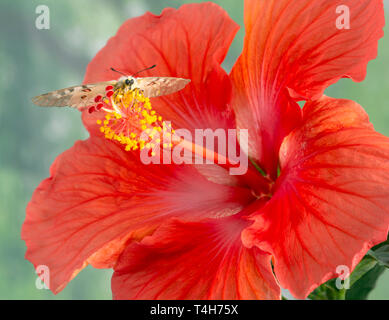 Clodius Parnasian butterfly resting on a red hibiscus flower - Stock Image