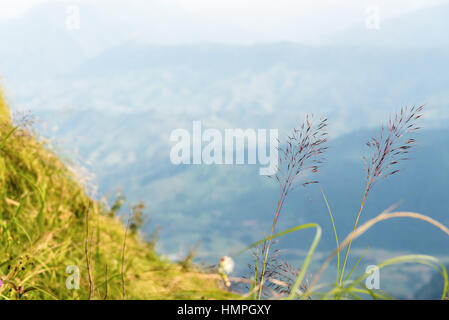 Flower grass on high mountain at viewpoint of Phu Chi Fa Forest Park in Chiang Rai Province Thailand for background - Stock Image