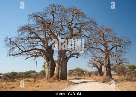 Tanzania, Tarangire. A road runs underneath the branches of massive baobab trees, for which Tarangire is famous. - Stock Image