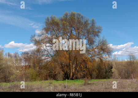 Narrow-leafed ash tree, Fraxinus angustifolia, next to the river Manzanares, in El Pardo, Madrid, Spain - Stock Image
