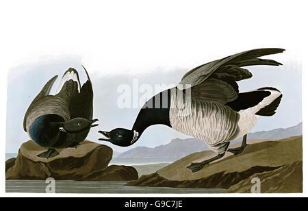 Brant, Branta bernicla, birds, 1827 - 1838 - Stock Image
