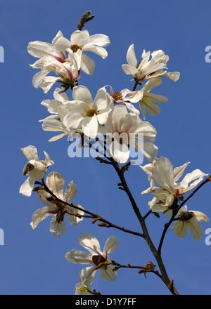Northern Japanese or Kobushi Magnolia, Magnolia kobus, Magnoliaceae. Japan and Korea. - Stock Image