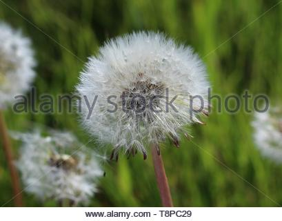 a portrait of a lone dandelion growing in all its blooming glory - Stock Image