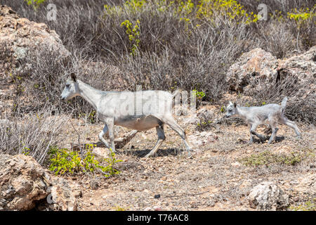 Goats at Grand Fond in St Barts - Stock Image