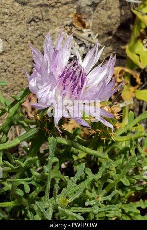 Centaurea sphaerocephala is native to the Iberian Peninsula and countries around the Mediterranean. - Stock Image