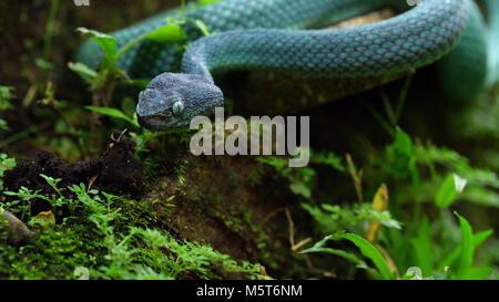 Blue Insularis Shunda Pit Viper in the Grass - Stock Image