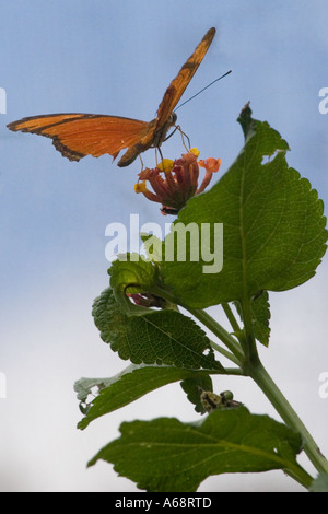 Orange julia longwing butterfly on a pink and yellow flower C - Stock Image