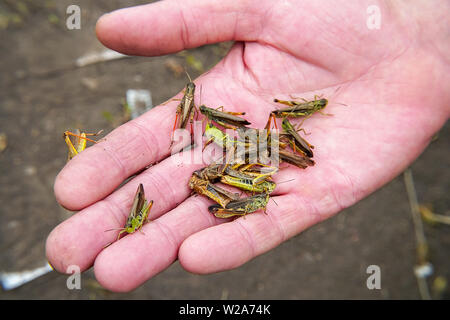 A lot of locusts on a man's palm - Stock Image