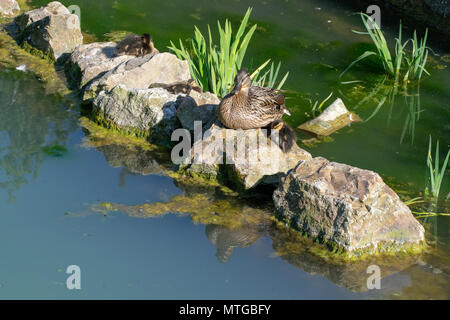 Female mallard and ducklings on rocks by lake in late spring sunlight - Stock Image