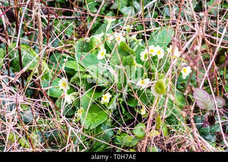 Wild Primrose or Primula vulgaris growing under a bush among last seasons dead grass stalks in south west England - Stock Image