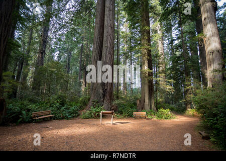 Hiking trails at the Lady Bird Johnson Grove Trail in California Redwoods National Park and State Parks. - Stock Image
