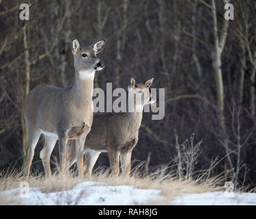 White-tailed Deer doe and fawn (Odocoileus virginianus) at the edge of an aspen clone in aspen parkland - Stock Image