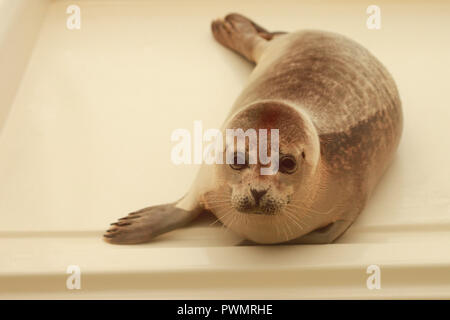 A rescue seal at A Seal, Stellendam - Stock Image