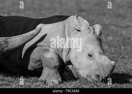 Detailed close-up side view of cute, baby white rhinoceros (Ceratotherium simum) lying down outdoors in sun, protective mother rhino horn, never far! - Stock Image