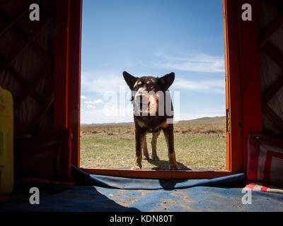 MONGOLIE, MAI 19 : Un chien surveille jours et nuits les yourtes et troupeaux face aux nombreuses attaques de loups - Stock Image