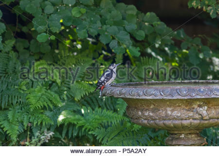 Fleet, Hampshire, UK. 26th June 2018. A Great Spotted Woodpecker takes a much needed drink of water fron a garden planter on the hottest day so far this year. Credit: Images by Russell/Alamy Live News - Stock Image
