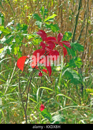 Small young tree with bright red seasonal autumn color leaves - Stock Image