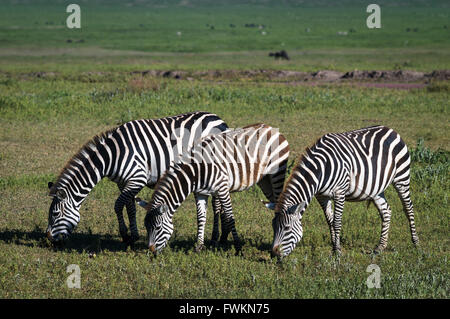 Three zebras (Equus quagga) grazing side-by-side in Ngorongoro Crater, Tanzania, Africa - Stock Image