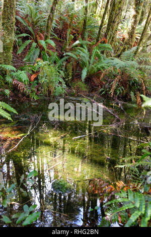 Pond in natvie bush, Fjordland, New Zealand - Stock Image