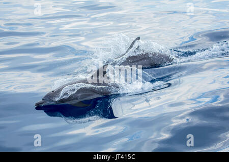 Indo-Pacific Bottlenose Dolphin (Tursiops aduncus) surfacing in the glassy calm sea - Stock Image