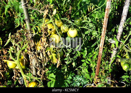 Green unripe tomatoes with green leaves damaged from pests or disease - Stock Image