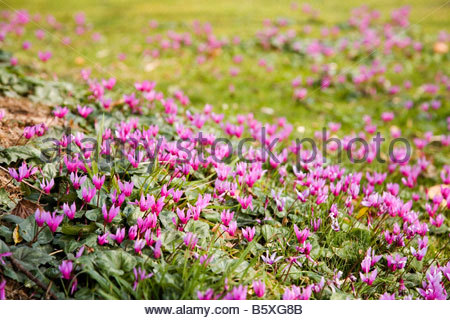CYCLAMEN COMMON NAME SOWBREAD TUBEROUS PERENNIAL WITH ROUND TO HEART SHAPED LEAVES BEARING MANY PINK TO CARMINE - Stock Image