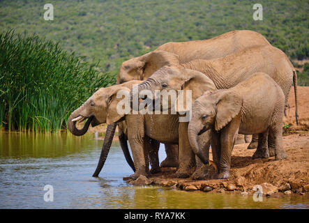 Family of five african elephant drinking playfully at water hole. Various ages from Baby to large adult - Stock Image